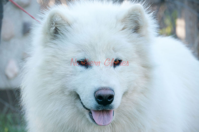Giant White Malamute | www.imgkid.com - The Image Kid Has It!