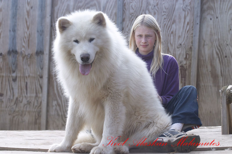 Very large giant long furred wooly akc purebred alaskan malamute