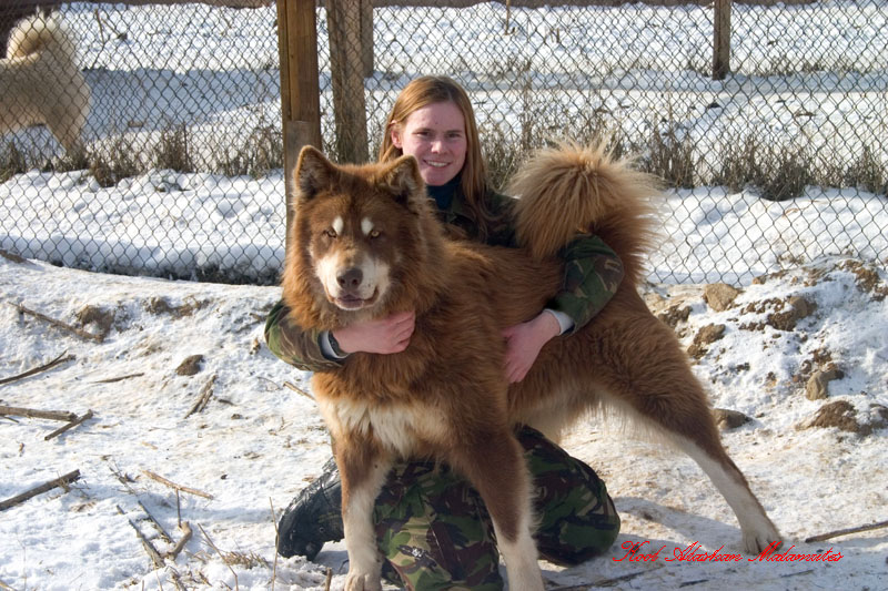 giant red alaskan malamute wolf pics about space