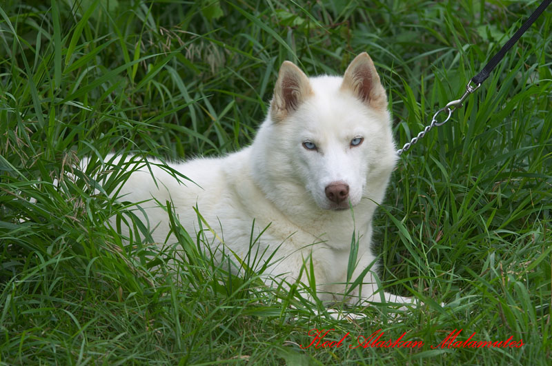 Female Red Siberian Husky