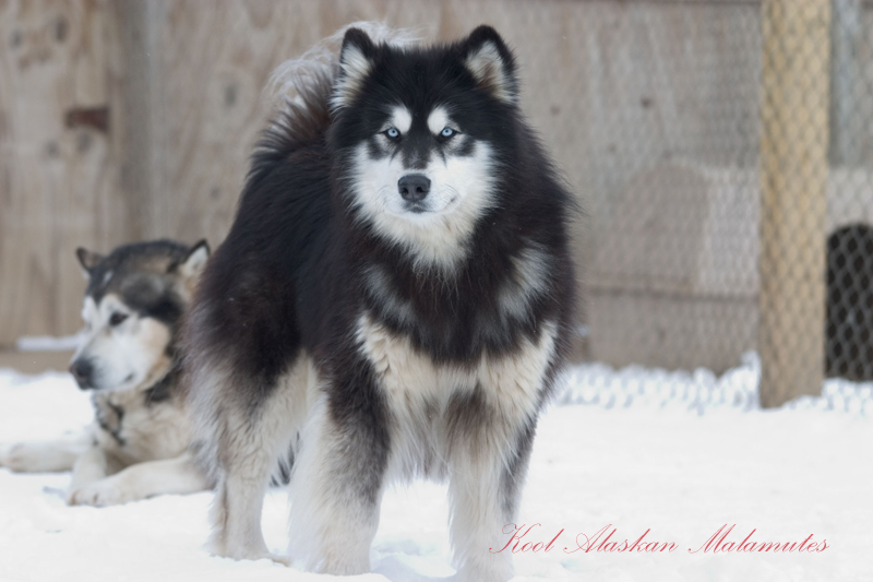 Northern Glories: .Siberian Husky Males::
