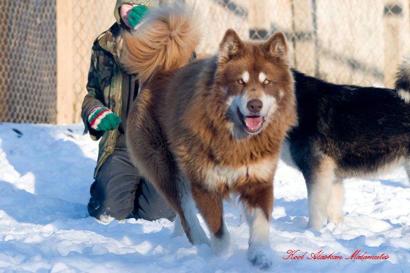wolf 20husky 20pups wolf dog a201391915214 jpg Quotes