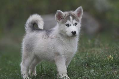 husky for sale in michigan